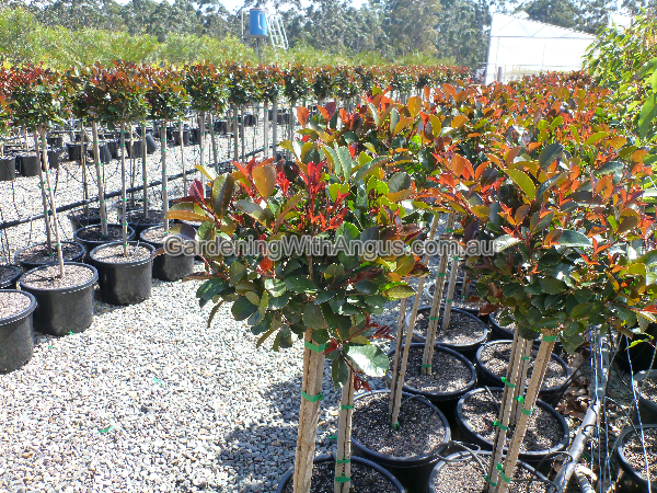 Lilly Pilly Syzygium Australe Big Red