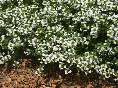 Scaevola White Wonder Bush