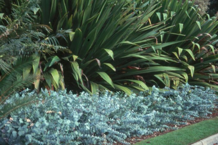 Angus's Top Gum Trees for Gardens