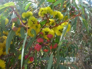 Angus S Top Gum Trees For Gardens