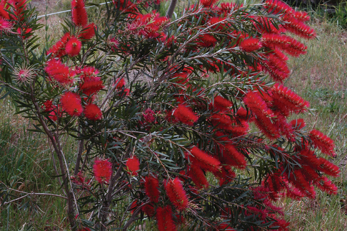 Callistemon - Kings Park Special